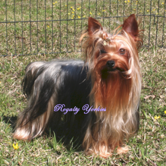 AKC Yorkshire Terrier or Pomeranian puppy for sale, Yorkie or Pom