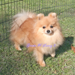 Poms Available, Royalty Yorkie-or-Pomeranian-Puppies ...